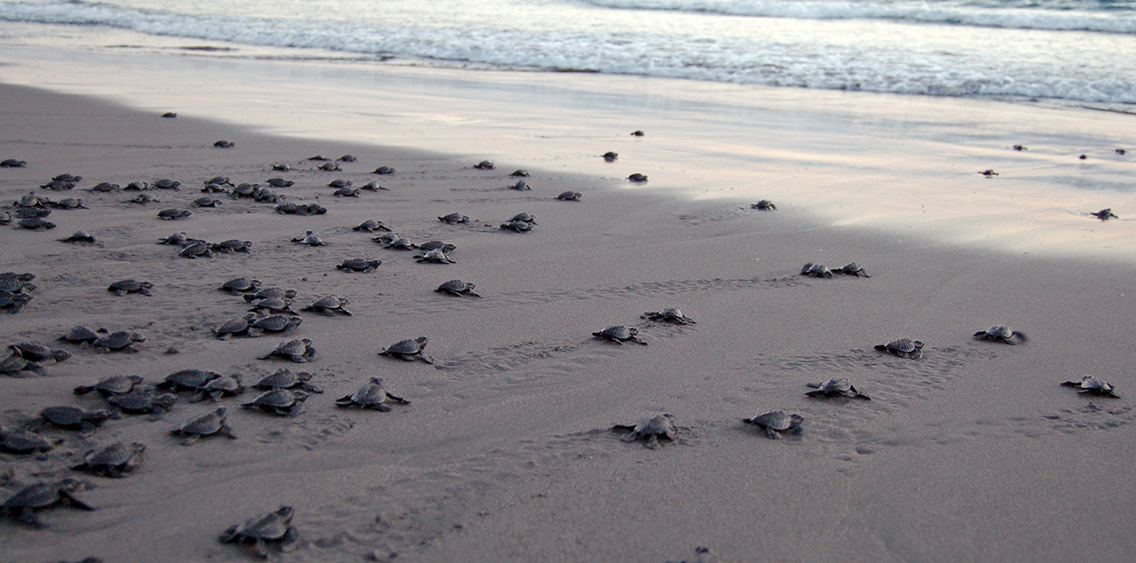 Liberaciones de Tortugas Marinas