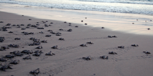 Amazing Sea Turtle Releases