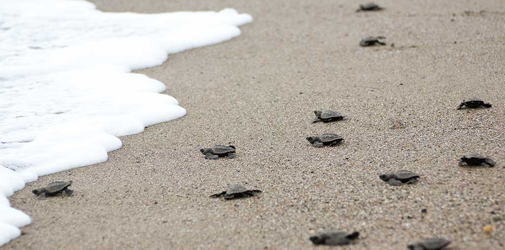Nuevo Vallarta Turtles