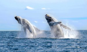 Whales jumping