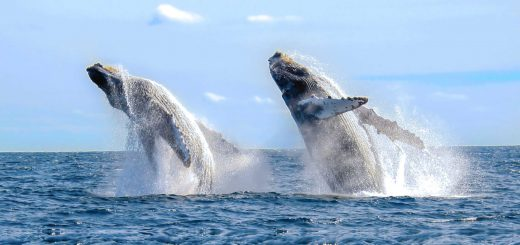 Ballenas saltando